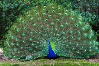 Resultado de imagem para peacock train